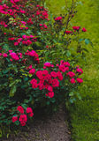 Rose, rosas de arbusto, flores Fotografía de archivo libre de regalías