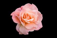 Rose rose Photos libres de droits