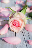 Rose rose. With plants on rustic wood Stock Photos