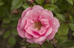 Rose rose Photographie stock libre de droits