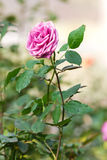 Rose rose Photos stock