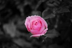 Rose rose 2 Photos libres de droits