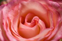 Rose rose Photographie stock libre de droits