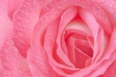 Rose rose avec de l'eau laisse tomber le macro Photos libres de droits