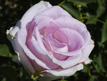 Rose rose-clair admirablement unique Image libre de droits