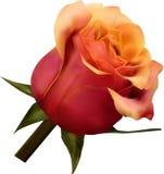 Rose rose d'isolement Photos libres de droits
