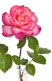 Rose rose dans le vase Photographie stock