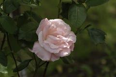 Rose rose dans une lueur du soleil Images libres de droits