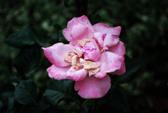Rose rose de mort Images libres de droits