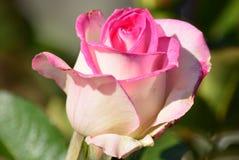 Rose rose et blanche magnifique Images stock