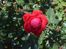 Rose, Rose Family, Flower, Floribunda Stock Image