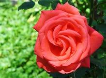 Rose, Rose Family, Flower, Garden Roses Royalty Free Stock Image