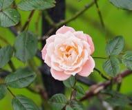 Rose In Rose Garden Tralee Irlande Photos libres de droits