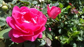 Rose rose intelligente images stock