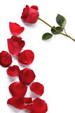 A rose and rose petals Stock Images