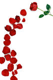 A rose and rose petals. A rose flower accompanied by many rose petals stock image