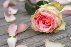 Rose with rose petals. Pink Rose and Rose petals lying down on a wooden table royalty free stock images