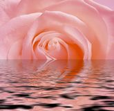 Rose rose, réflexion dans l'eau Photo libre de droits