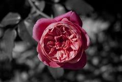 Rose rose sur le contexte de B&W Image stock