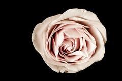 Rose rose sur le noir Image stock