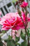 Rose rose sur un buisson Images libres de droits