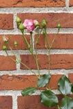Rose rose sur un mur de briques rouge Images stock
