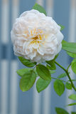 Rose. A rose is a woody perennial flowering plant of the genus Rosa, in the family Rosaceae, or the flower it bears. There are over a hundred species and Stock Photography