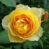 Rose and rosebud Royalty Free Stock Image