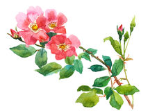 Rose and rosebuds Royalty Free Stock Image