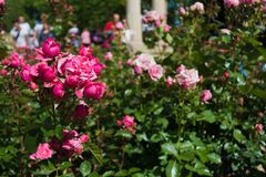 Rose Roses Royaltyfria Foton