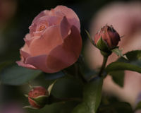 Rose. S in the backyard, in the morning Stock Image