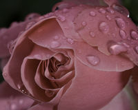 Rose. Roses in the backyard, after a rain shower royalty free stock images