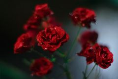 Rose. S are so beautiful! Just admire Stock Image