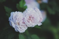 Rose. S flowers nikon bokeh Stock Photos