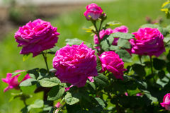 Rose roses plant in spring Stock Photos
