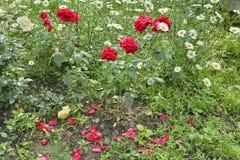 Rose rosse 1 Fotografia Stock