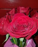 Rose rosse immagine stock libera da diritti
