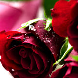 Rose rosse Fotografia Stock