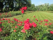 Rose rosse fotografia stock