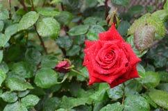 Rose rosse bagnate di bellezza con luce naturale Immagini Stock Libere da Diritti