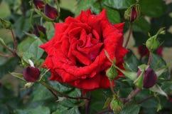 Rose rosse bagnate nella pioggia Fotografie Stock Libere da Diritti