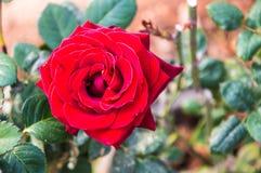 Rose rosse che fioriscono nel giardino fotografie stock