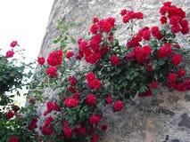 Rose rosse che scalano la parete di vecchia torre di pietra immagine stock libera da diritti