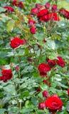 Rose rosse con erba nella pioggia Fotografie Stock Libere da Diritti