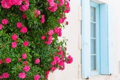 Rose rosse con i ciechi blu immagine stock libera da diritti
