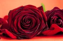 Rose rosse con i petali fotografia stock