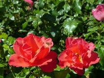 Rose rosse con la raccolta dell'ape Fotografie Stock Libere da Diritti