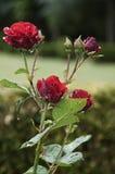 Rose rosse con le gocce di pioggia Fotografia Stock