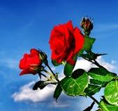 Rose rosse contro un contesto di cielo blu Immagine Stock