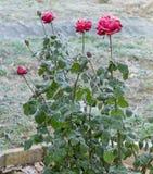 Rose rosse coperte di gelo Fotografia Stock Libera da Diritti